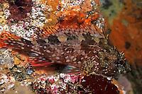 Rockfish, Sebastiscus marmoratus, Izu ocean park, Sagami bay, Izu peninsula, Shizuoka, Japan, Pacific Ocean