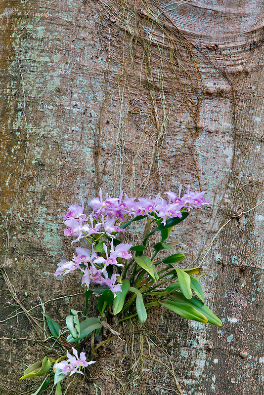 Orchid growing on tree  in National Tropical Botanical Garden. Kauai, Hawaii