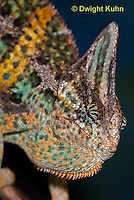 CH51-668z  Male Veiled Chameleon in display color,  Chamaeleo calyptratus