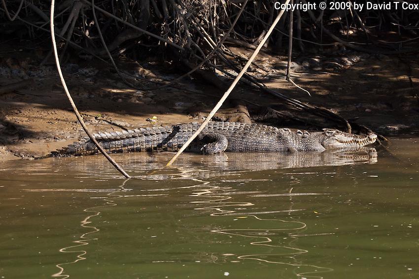 Australian Saltwater Crocodile, Daintree River, Queensland, Australia