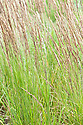 Calamagrostis epigejos, early July. An ornamental grass sometimes known as Bush grass or Wood small-reed.