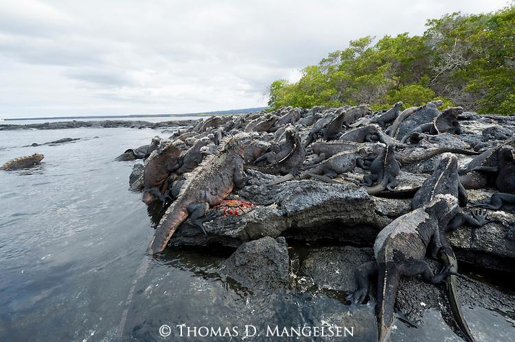 Marine iguanas lay on a rocky beach in the Galapagos Islands, Ecuador.
