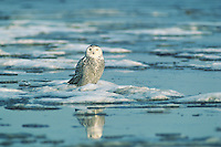 Snowy owl (Bubo scandiacus), winter.