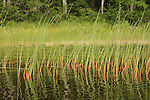 Tall grasses in water along lake shoreline. Reflections in water.