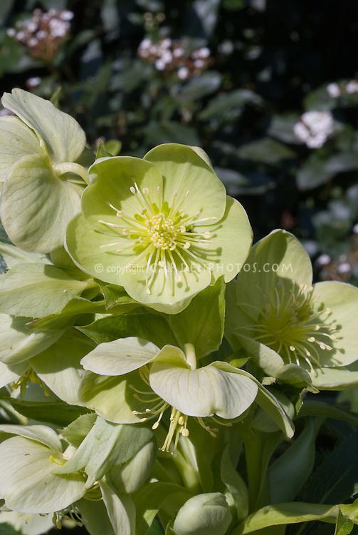 Helleborus argutifolius, hellebore in flower