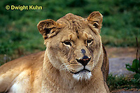 MA39-001b  African Lion - Panthera leo