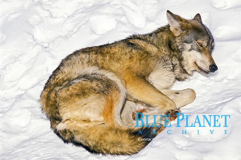 Eurasian wolf, Canis lupus lupus, adult, sleeping on snow, Europe