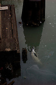 Brooklyn, New York<br /> January 25, 2013<br /> <br /> A dolphin dies trying to extricate itself from the heavily polluted Gowanus canal in Brooklyn. The canal is known for the high level of pollution caused by industrial and other wastes.<br /> <br /> The 7 feet long dolphin periodically surfaced trying to snort away a dark goop.<br /> <br /> Authorities were waiting to see whether the creature could escape on its own during the nighttime high tide. If not, police will decide whether to put divers into the water to help guide the wayward animal.<br /> <br /> It is not unheard of for an aquatic mammal to be trapped in Brooklyn, but it is rare.<br /> <br /> In 2007, a baby minke whale - immediately nicknamed Sludgie - was trapped in the narrow canal. It died before it could be coaxed to leave.<br /> <br /> The area was once known for its factories and is generally regarded as one of the more polluted parts of the city. In 2010, it was named a federal Superfund site by the  Environmental Protection Agency meaning the government can force polluters to pay for its restoration.