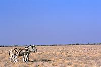 Zebras (Equus quagga) op de Etosha savanne