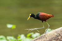 Northern Jacana, Jacana spinosa, walks on a log in the Tortuguero River (Rio Tortuguero) in Tortuguero National Park, Costa Rica