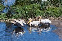 Tanzania.  Ngorongoro Crater.  Great White Pelicans in the Hippopotamus Pool.