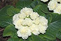 Primula 'Belarina Cream'