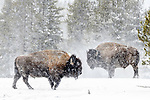 Adult male American bison (Bison bison) covered in snow and grazing near the Firehole River, Upper Geyser Basin, Yellowstone, USA. January