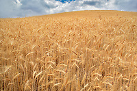 Filed of ripe wheat. The Palouse. Washington