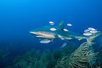 Caribbean reef shark, Carcharhinus pereziii, with bar jack, carbonero, red jack, blue-striped cavalla, or passing jack, Caranx ruber, Gardens of the Queen, Jardines de la Reina National Park, Cuba, Caribbean Sea, Atlantic Ocean