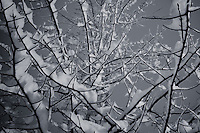 Winter snow is piled on branches of tree in this black and white rendering with a flat gray background as contrast to white of the snow