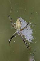 Banded Garden Spider (Argiope trifasciata) - Female,  Ward Pound Ridge Reservation, Cross River, Westchester County, New York