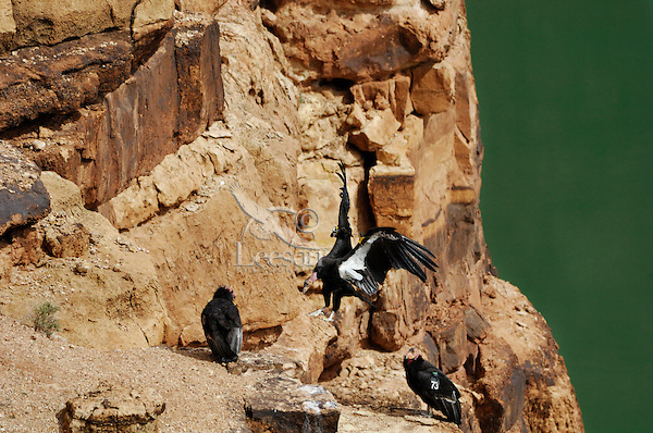 California Condors (Gymnogyps californianus), Grand Canyon National Park, Arizona.