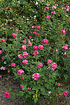 CARELESS LOVE ROSE, ROSA HYBRID TEA
