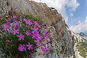 Woodland Pink {Dianthus sylvestris} growing on limestone cliff. Triglav National Park, Julian Alps, 2000m, Slovenia. July.