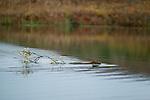 Beaver towing willow branch, Denali National Park, Alaska