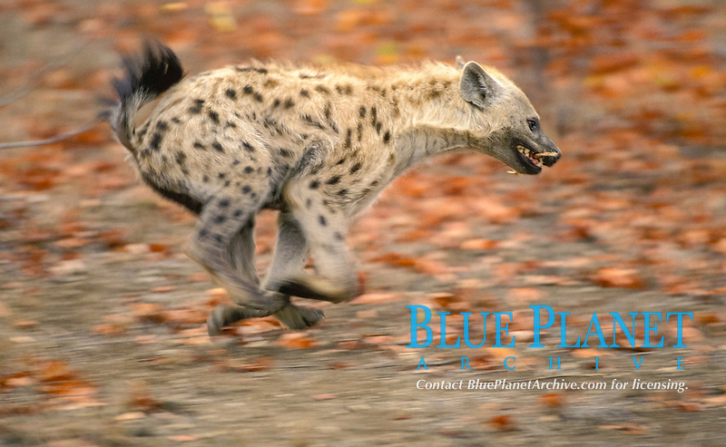 Spotted Hyena (Crocuta crocuta), young playing, Kruger National Park, South Africa, Africa