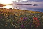 San Juan Islands; Yellow Island; wildflowers; Nature Conservancy Preserve; Washington Chapter; Washington State, Salish Sea, Pacific Northwest, U.S.A.,