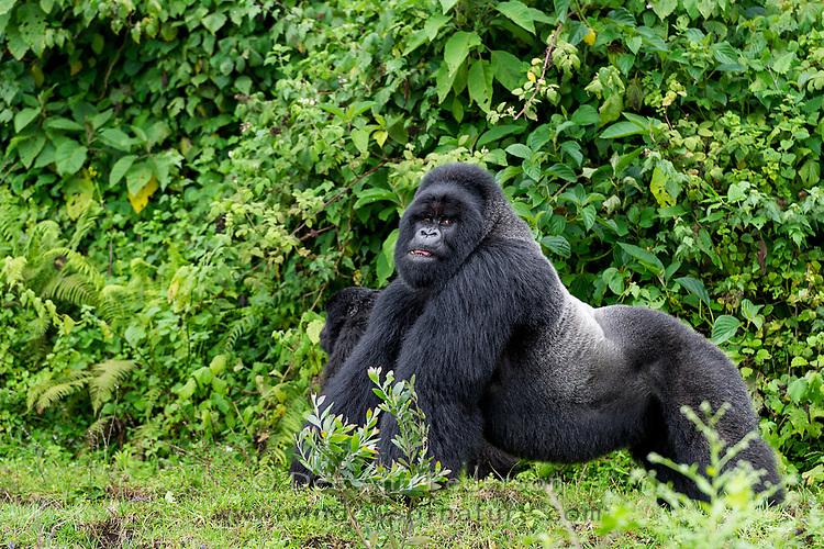 Sabyinyo Mountain Gorilla Troop, Volcanoes National Park, Rwanda