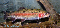 """1214-0906  Rainbow trout or Inland Redband Trout, Oncorhynchus mykiss or Salmo gairdneri """"from New England, United States""""  © David Kuhn/Dwight Kuhn Photography"""