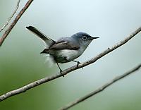 Adult male blue-gray gnatcatcher in breeding plumage