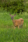 White-tailed deer foraging in a northern Wisconsin field