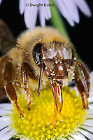 1B07-503z  Honeybee face, tongue, compound eyes, antennae, Apis mellifera