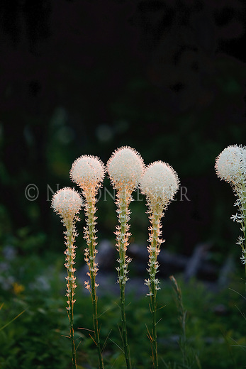 The flowers of the Beargrass plant grow on stalks 3 - 4 feet tall