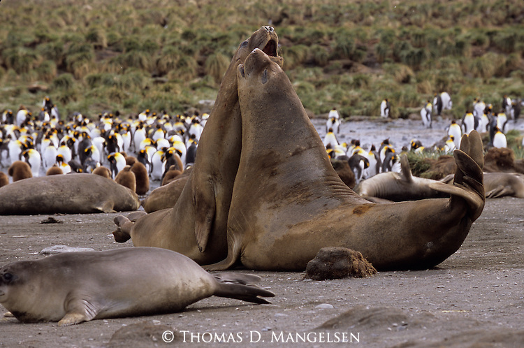 Southern elephant seals fight at Gold Harbor, South Georgia.