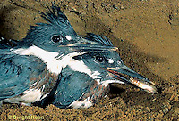 KG02-076x  Belted Kingfisher - four week old young eating fish from parent in sandpit nest - Megaceryle alcyon