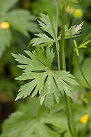 Scharfer Hahnenfuß, Scharfer Hahnenfuss, Blatt, Ranunculus acris, Synonym: Ranunculus acer, meadow buttercup, tall buttercup, giant buttercup