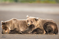 We were fortunate to get plenty of quality time with these yearling Brown Bear (Ursus arctos) cub siblings.  Here the male cub (on the right) finds the perfect pillow on his sister's backside.  She didn't seem to mind.  Lake Clark National Park, Alaska.