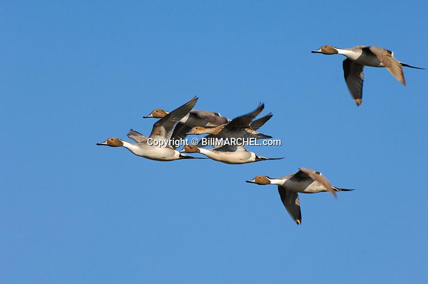 00300-024.15 Pintail Duck (DIGITAL) flock in flight against blue sky.  Action, waterfowl, hunt, sprig, fly, bird, birding.  H3L1