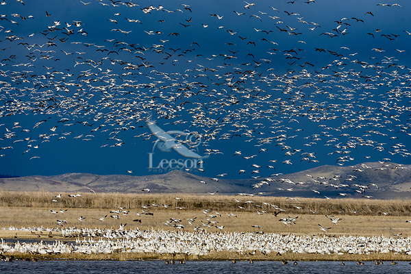 Snow Geese (Chen caerulescens), Greater White-fronted Geese and a few Tundra Swans, Lower Klamath NWR, Oregon/California.  Spring