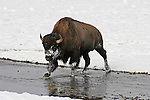 Bison crossing stream in snow