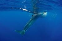 Bryde's whale, Balaenoptera brydei or Balaenoptera edeni, feeding on baitball of sardines, Sardinops sagax, with inflated throat pleats, off Baja California, Mexico ( Eastern Pacific Ocean )