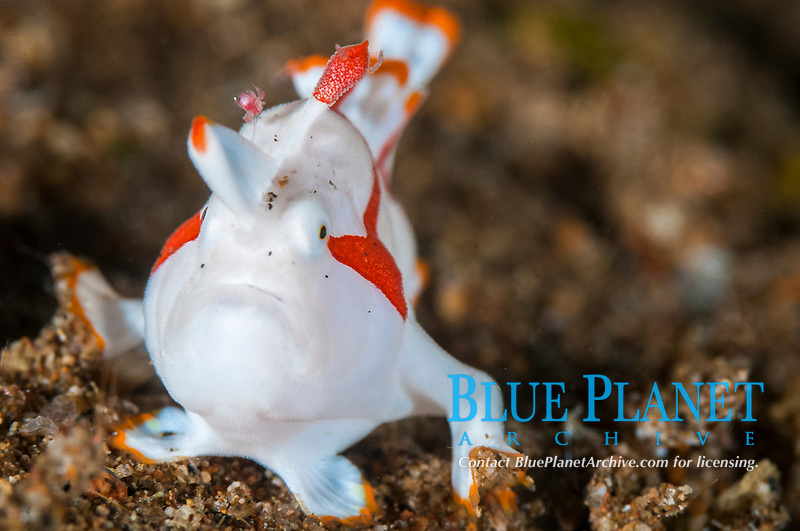 warty frogfish or clown frogfish, Antennarius maculatus, Dauin, Philippines.