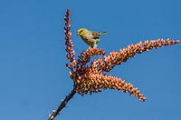 Verdin (Auriparus flaviceps) on ocotillo, Sonoran Desert, Ariz.  March