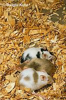 MU60-083z  Pet mouse - genetic color variation