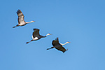 Damon, Texas; three sandhill cranes flying  in formation against a blue sky in early morning sunlight