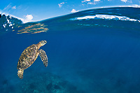 A green sea turtle, Chelonia mydas, heads to the surface for a breathe, an endangered species. Maui, Hawaii, USA, Pacific Ocean