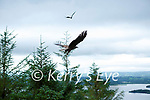 Flying the nest: Two of the six eagles released take flight in Killarney on Saturday morning