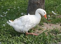 Gans im Haustierpark Werdum - Werdum 24.07.2020: Haustierpark Werdum