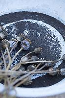 Mohn-Samen, Mohnsamen, Samen von Mohn, Mohnsaat, Saat, Wildkräutersamen, Wildkräuter-Samen, Samen von Wildkräutern, Samen von Wildpflanzen im Herbst sammeln, seed, Schlaf-Mohn, Schlafmohn, Mohn, Papaver somniferum, Opium Poppy