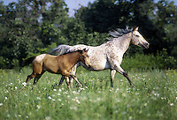 Appaloosa mare with foal at side canter across field of wildflowers.